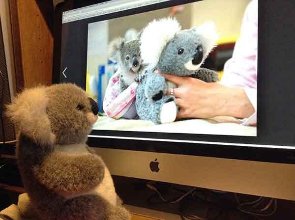 koala-unfall-mama